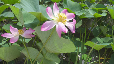 lotus flower with pink petals close-up, 4k Footage