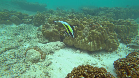 Pennant Coralfish or Longfin Bannerfish in sea Footage