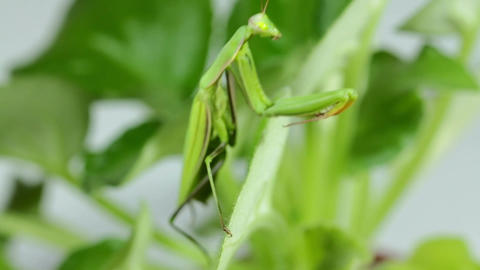 The Mantis Is Common On The Leaves Of Plants