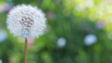 A Lone Dandelion In The Spring Garden Footage