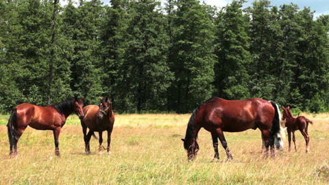 Horse And Foal On Pasture 4 Footage