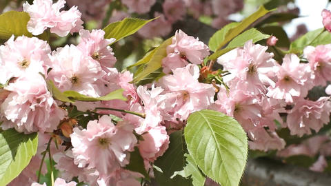 Pink cherry blossoms in the garden close-up Footage