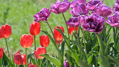 Multiple colored tulips in a garden Footage
