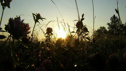 Clover Background Of The Morning Sun Footage