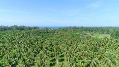 Flight over a palm grove. Thailand. Aerial