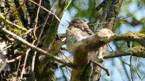 thrush chick sitting in a branches of tree and opening beak Live Action