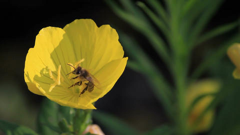 Bee On The Flower Footage