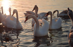 White swans swim in the sea against a bright sunset Photo