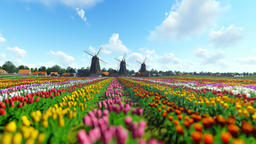 Traditional Dutch windmills with vibrant tulips in the foreground over blue sky Animation