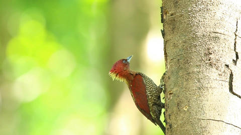 female banded woodpecker in the spawning season Footage
