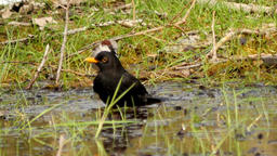 sparrows, thrush and black bird washing in a paddle - 3 videos sequence Footage