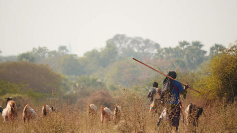 Shepherds with goats in Myanmar - Pagodas view background. Filmed in Bagan - 2 v Footage