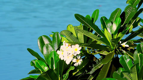 Beautiful tropical frangipani flower swaying in wind Stock Video Footage