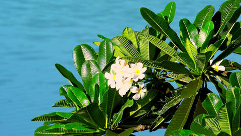 Beautiful tropical frangipani flower swaying in wind Footage