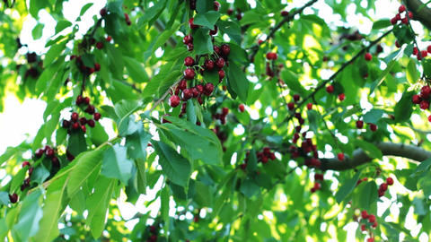 Fruits Ripe Cherries On The Wind