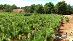 Europe Spain Balearic Ibiza coves and landscapes 083 palm plantation in country Footage
