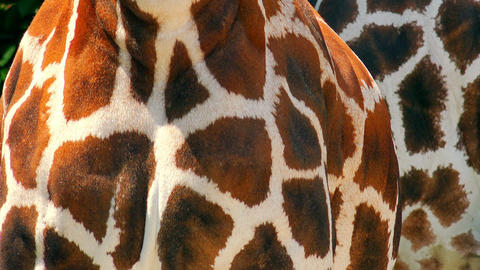 Close up African giraffe body. Animal skin texture Live Action