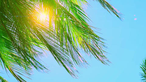 Palm foliage swaying in wind and illuminated by sun Footage