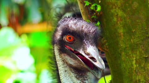 Gorgeous ostrich bird looking around against green foliage illuminated by sun Footage