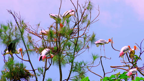 Flock of painted storks nesting on top of tree against clear sky Live Action