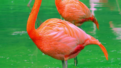 Beautiful pink flamingos on pond Footage