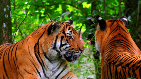 Pair of gorgeous wild tigers resting in tropical moist forest Footage