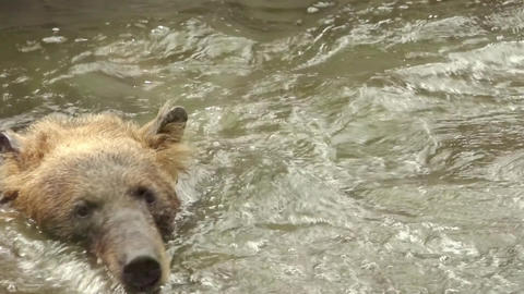 Asian brown bear bathing in freshwater pond to keep cool Footage