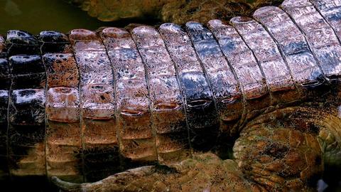 Close up wet crocodile skin Footage