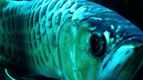 Close up of Asian Arowana. Swims away demonstrating its shiny scale Footage