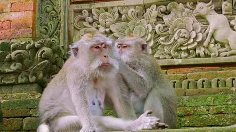 Family of long-tailed macaques grooms each other and relaxing Live Action