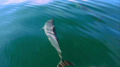 Funny Dolphins swim underwater n calm tropic sea lit by sun. Sri Lanka Footage