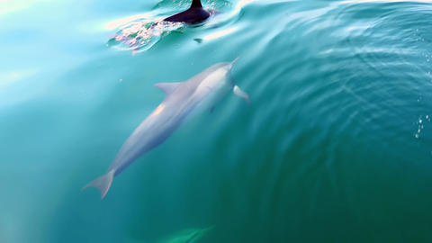 Funny Dolphins swim underwater n calm tropic sea lit by sun. Sri Lanka Footage