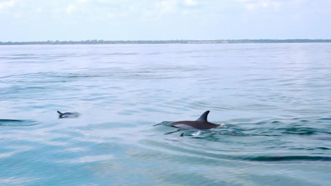 Big group of porpoising Dolphins swimming and breaching off. Sri Lanka Footage