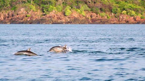 Panoramic view of sea surface breaking by pod of Spinner Dolphins. Sri Lanka Footage