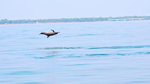 Dolphin making leap in air. Sea carnivore hunting for tuna fish. Sri Lanka Live Action