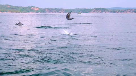 Dolphins jumping out of sea and performing tricks at morning hunting. Sri Lanka Footage
