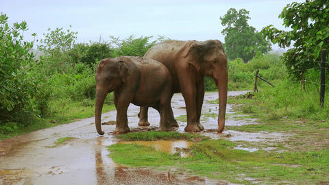 Asian elephants enjoying dust bathing at rainy season in Udawalawe, Sri Lanka Footage