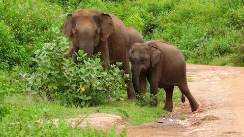 Asian elephant and cute baby walking in Udawalawe National Park, Sri Lanka Footage