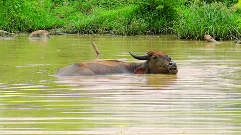 Asian water Buffalo relaxing in pond. Udawalawe National Park, Sri Lanka Footage