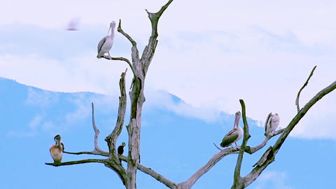 Slow motion. Pelicans grooming on dry tree branches. Udawalawe, Sri Lanka Footage