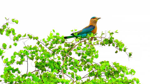 Indian Roller bird perched on tree in Udawalawe national Park, Sri Lanka Footage