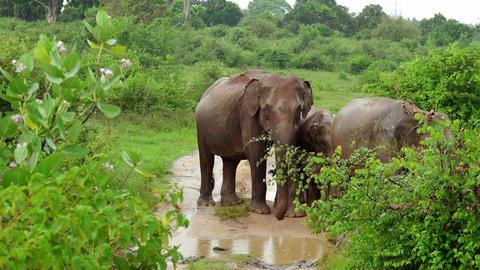 Rainy season in tropics. Big Asian elephants family in Udawalawe, Sri Lanka Footage