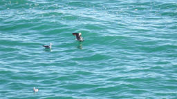 Seagulls on the water Footage
