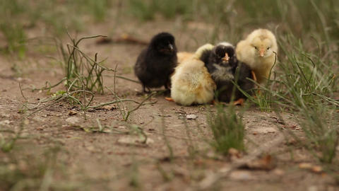 Yellow and Black Newborn Chicks Filmmaterial