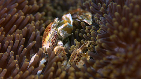 Spotted Porcelain Crab Footage