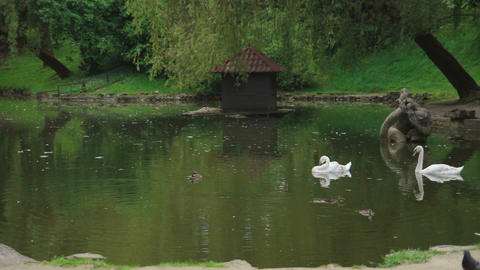 Two swans are swimming in a lake park Footage