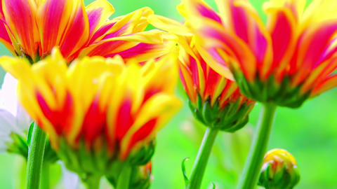 Beautiful Gazania (South African Daisy) flowers bouquet. Zooming video Footage