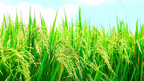 Close up video of ripening green rice ears on field under blue sky Footage
