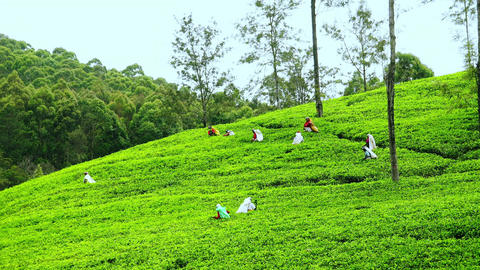Women picking tea harvest at highland plantation. Sri Lanka Footage