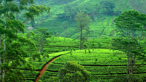 Zoom in video of tea plantations with fresh green leaves in Sri Lanka highlands Footage